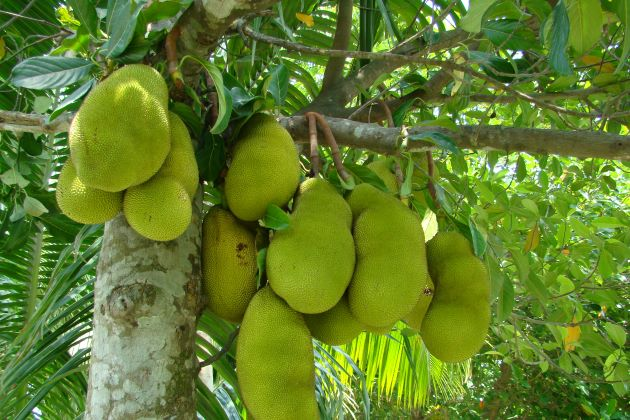 fruit orchard in mekong delta