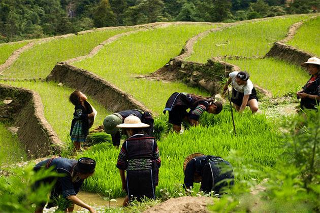 Paddy Fields Near Y Linh Ho Village Sapa